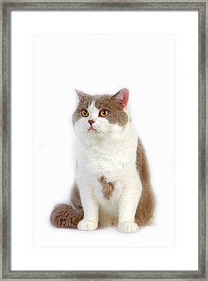 Lilac And White British Shorthair Cat Framed Print by Gerard Lacz