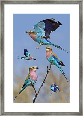 Lilac-breasted Roller Collage Framed Print by Basie Van Zyl