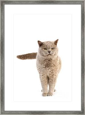 Lilac British Shorthair Cat Framed Print by Gerard Lacz