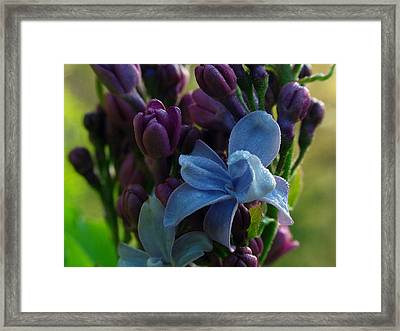 Lilac Framed Print by Juergen Roth