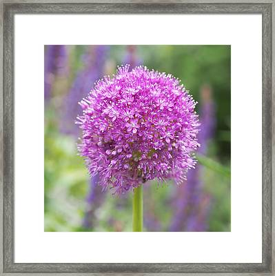 Lilac-pink Allium Framed Print by Rona Black