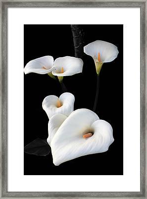 Lilies Framed Print by Aidan Moran