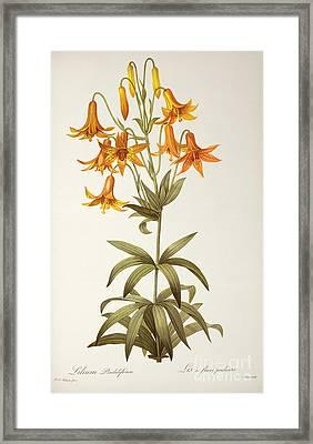 Lilium Penduliflorum Framed Print by Pierre Joseph Redoute