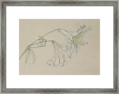 Lily Framed Print by Albert Williams