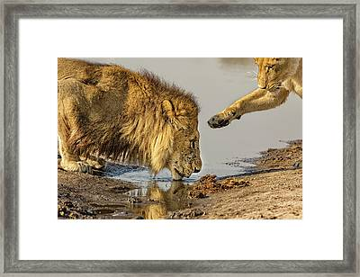 Lion Affection Framed Print by Kay Brewer