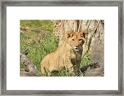 Lion Cub 2 Framed Print by Marv Vandehey