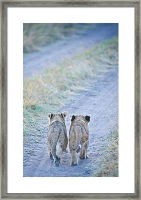Lion Cubs Walking Together In Masai Mara Framed Print by Mehmed Zelkovic