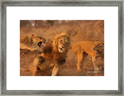 Lion Fight Sequence 4 Framed Print by Malcolm Bowling