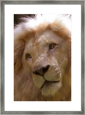 Lion Sad Eyes Framed Print by Marlana Holsten