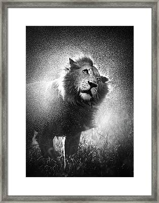 Lion Shaking Off Water Framed Print by Johan Swanepoel