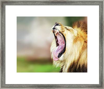 Lion With Mouth Wide Open Framed Print by Susan Schmitz