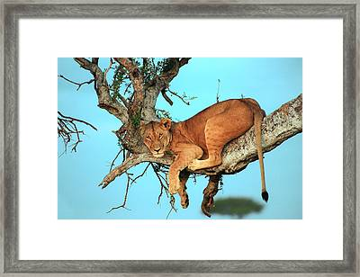 Lioness In Africa Framed Print by Sebastian Musial