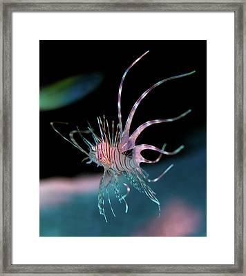 Lion's Ballet Framed Print by Rico Besserdich