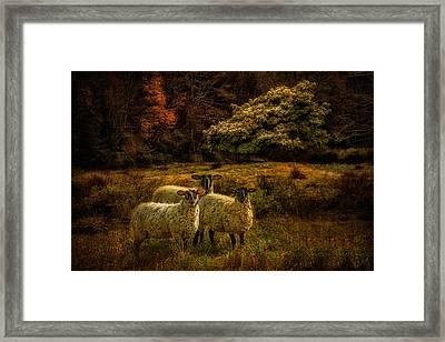 Listening Sheep 1282 Framed Print by Linda King