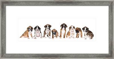 Litter Of Boxer Puppies Framed Print by Diane Diederich