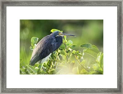 Tri-colored Heron  Framed Print by Saija  Lehtonen