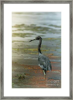 Little Blue In Red Mud Bubbles Framed Print by Robert Frederick