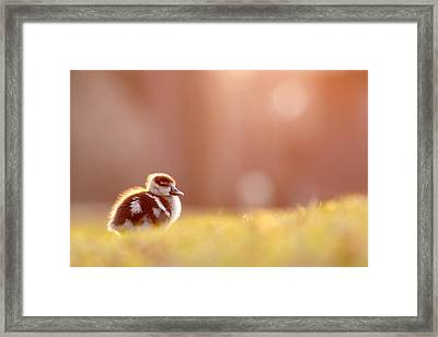 Little Furry Animal - Gosling In Warm Light Framed Print by Roeselien Raimond