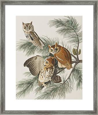 Little Screech Owl  Framed Print by John James Audubon