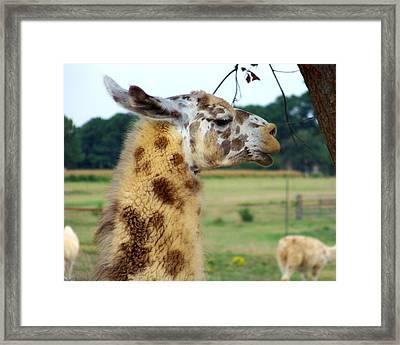 Llama Framed Print by Jai Johnson