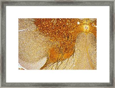 Lm Of A Section Through The Human Spinal Cord Framed Print by Power And Syred
