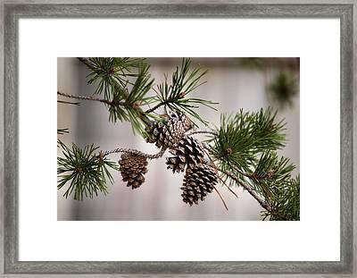Lodgepole Pine Cones Framed Print by Karen M Scovill