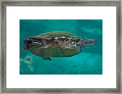 Loggerhead Plastron Framed Print by DigiArt Diaries by Vicky B Fuller