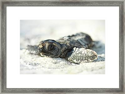 Loggerhead Sea Turtle Hatchling Framed Print by Kristian Bell