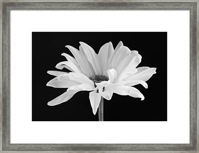 Lone Daisy Framed Print by Harry H Hicklin