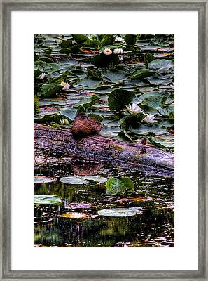 Lone Duck Framed Print by David Patterson