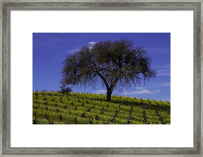 Lone Tree In Vineyard Framed Print by Garry Gay