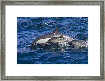 Long-beaked Common Dolphins, Delphinus Framed Print by Ralph Lee Hopkins