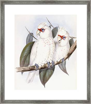 Long-billed Cockatoo Framed Print by John Gould