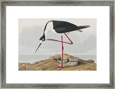 Long-legged Avocet Framed Print by John James Audubon