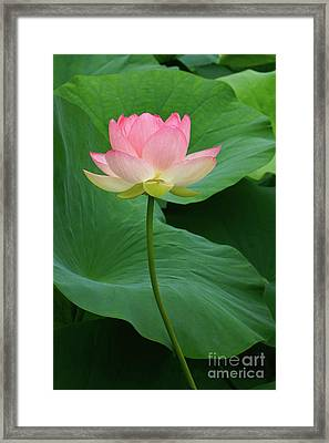 Long Stem Lotus Beauty Framed Print by Byron Varvarigos