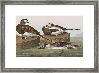 Long Tailed Duck Framed Print by John James Audubon