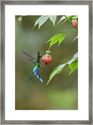 Long-tailed Sylph In Ecuador Framed Print by Juan Carlos Vindas