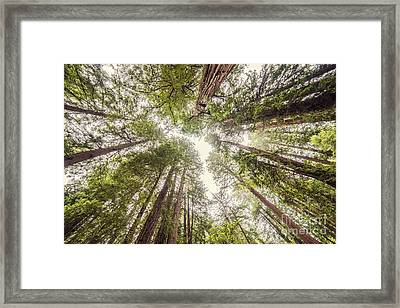 Looking Up At The Redwood Canopy - Founders Grove Muir Woods National Monument - Marin County  Framed Print by Silvio Ligutti