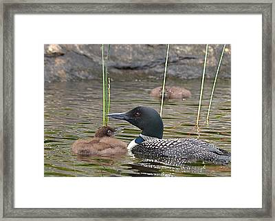 Loon Time Framed Print by Peter Gray