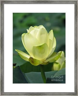 Lotus Framed Print by Amanda Barcon