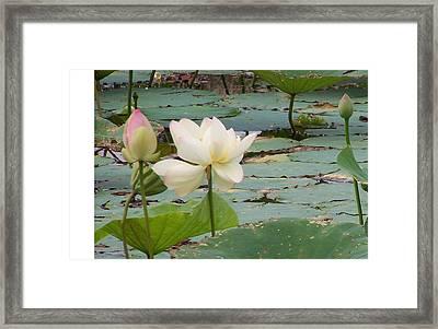 Lotus And Bud Framed Print by Vijay Sharon Govender