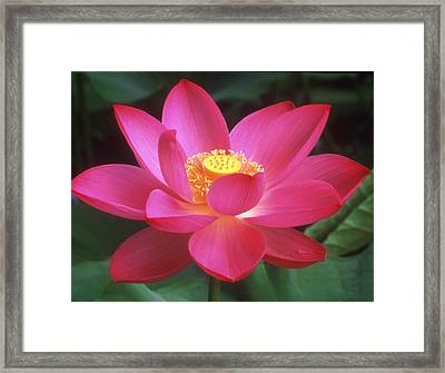 Lotus Blossom Framed Print by Elvira Butler
