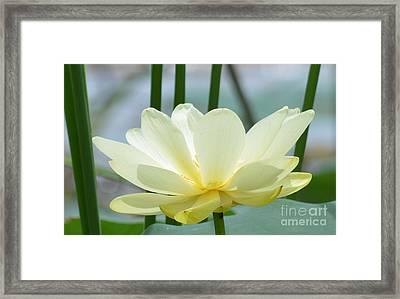 Lotus Flower In Full Bloom  Framed Print by Ruth  Housley