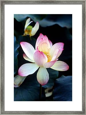 Lotus Fragrance Overflowing Framed Print by Lian Wang