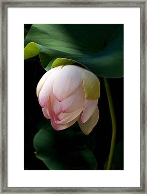 Lotus In The Evening  Framed Print by Catherine Lau