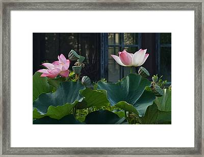 Lotus Lovelies Framed Print by Byron Varvarigos