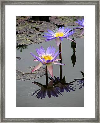 Lotus Reflection 4 Framed Print by David Dunham