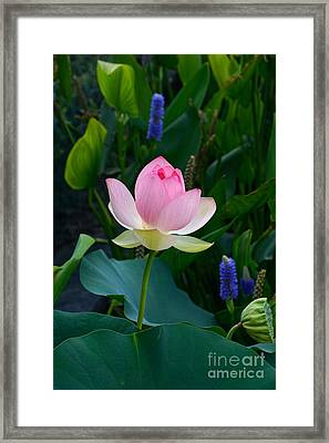 Lotus With Blues Framed Print by Byron Varvarigos