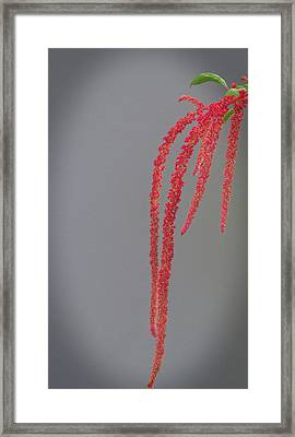 Love Lies Bleeding Framed Print by Skip Willits