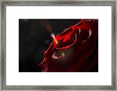 Love Rose Framed Print by Svetlana Sewell